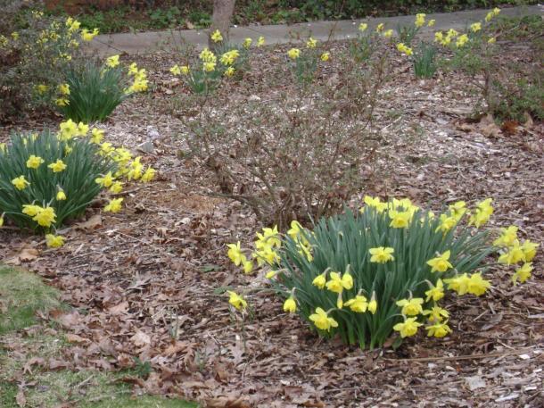 Daffodils 1 (Large)