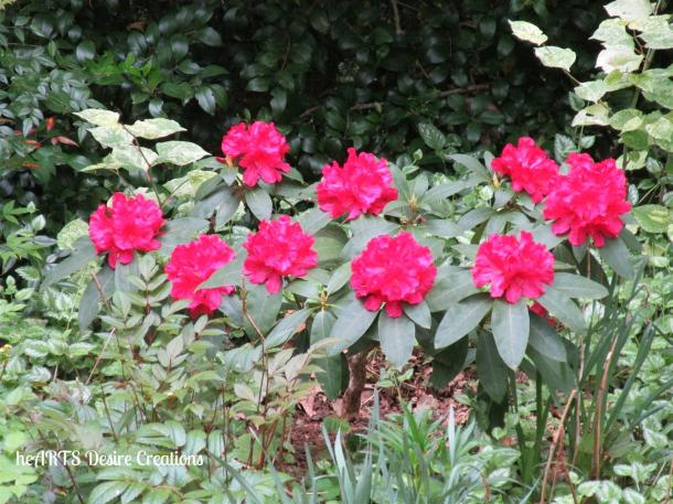 rhododendrons (Large)
