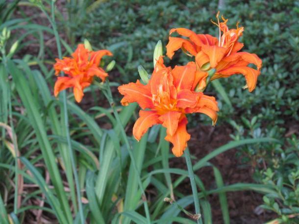 Daylily 1 (Large)