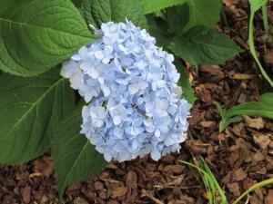 Hydrangea (Large)