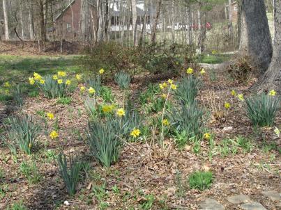 Daffodils II (Large)