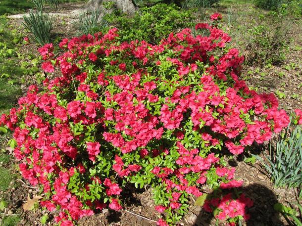pink azalea (Large)