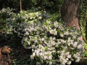 Beautiful White Azaleas