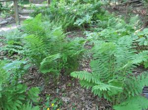 ferns (Large)
