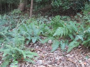 backyard-ferns